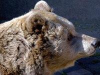Hessen sucht einen Bären