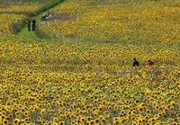 Bilder des Tages: Sonnenblumen ,