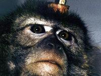 Versuche mit Affen verboten