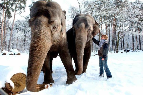Winterspaziergang: die  Elefanten Karla (42) und Sundali (40) im  Freigehege des Cottbuser Tierparks