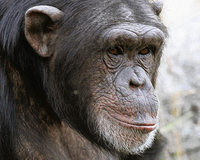 Schimpanse legt ein Waffenarsenal an
