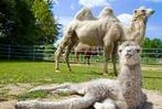 Weißes Kamelbaby für den Mundenhof