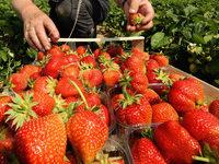 Bewegter Erdbeermarkt: Längere Saison, neue Sorten, mehr Einnahmen