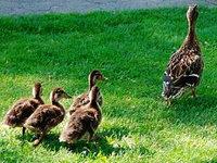Polizei rettet Entenfamilie
