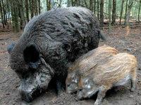 Wie bekommt man die Wildschweinplage in den Griff?