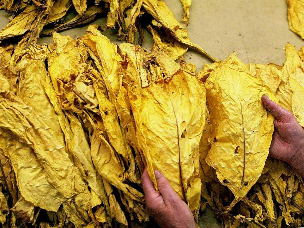 tabakanbau im elsass steht vor dem aus wirtschaft badische zeitung. Black Bedroom Furniture Sets. Home Design Ideas