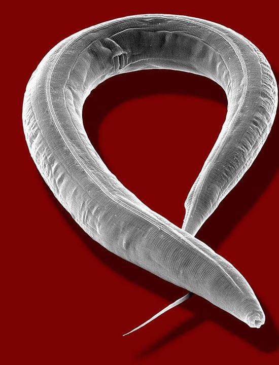 Biologische Waffe? Ein Fadenwurm unterm Mikroskop.  | Foto: MPG