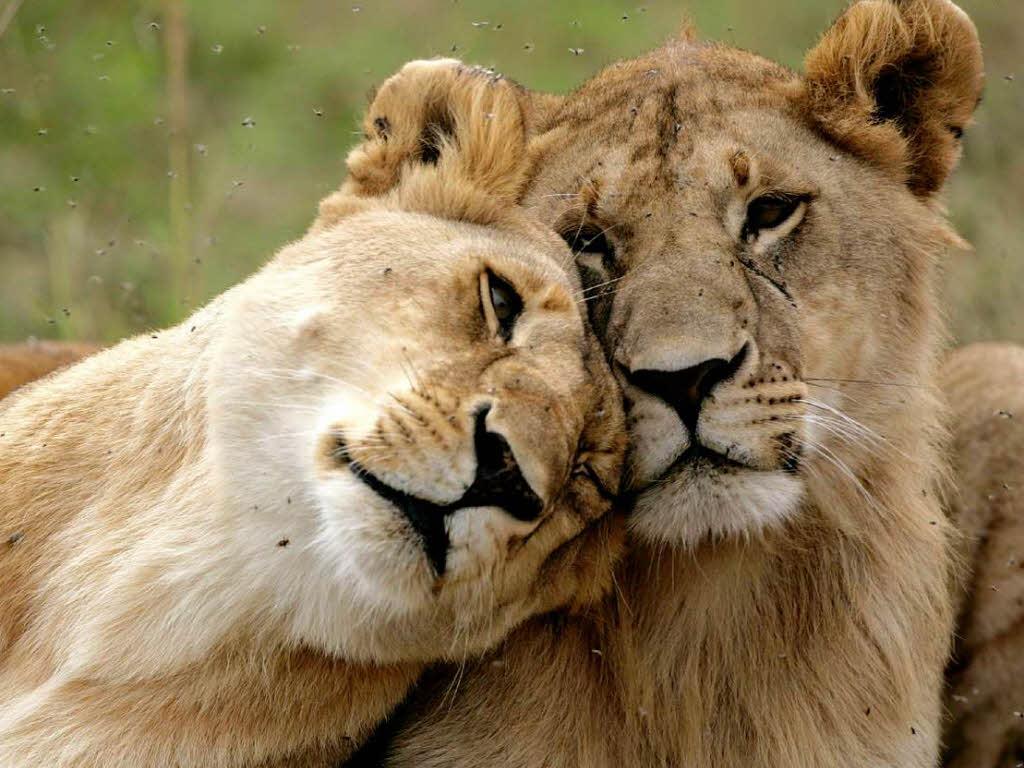 2800 löwen in der kenianischen savanne ist der könig der tiere