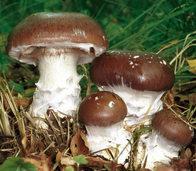 Schleiereule ist Pilz des Jahres