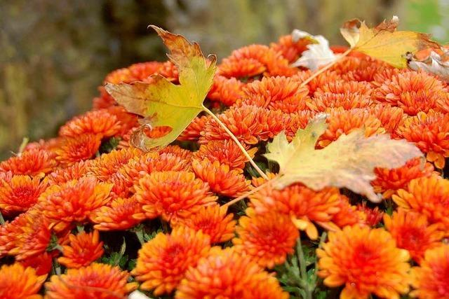Fotos: Die Chrysanthema 2008