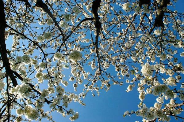 Die berühmten Kirschblüten vom Kaiserstuhl.