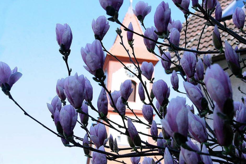 Die Magnolien in Ettenheimweiler