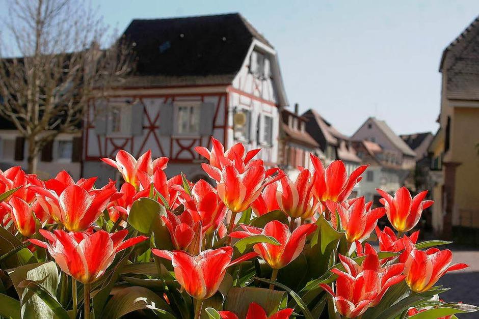Kräftige Tulpen in Ettenheim (Foto: Heidi Foessel)