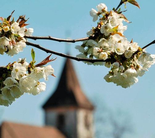 Am schönsten blühen die Kirschen am Kaiserstuhl.