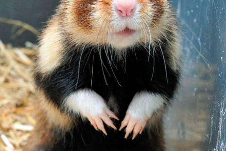 Dieser Hamster freut sich an heißen Tagen über eine Abkühlung im Käfig. Zum Beispiel durch einen in ein Handtuch eingewickelten Kühlakku (Foto: dpa)