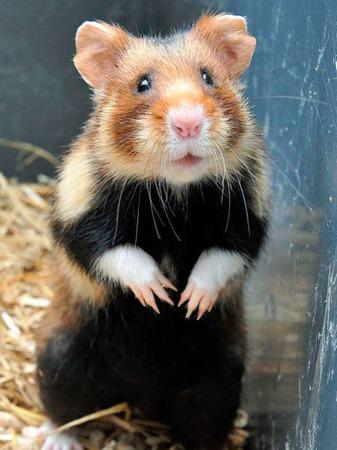Dieser Hamster freut sich an heißen Tagen über eine Abkühlung im Käfig. Zum Beispiel durch einen in ein Handtuch eingewickelten Kühlakku