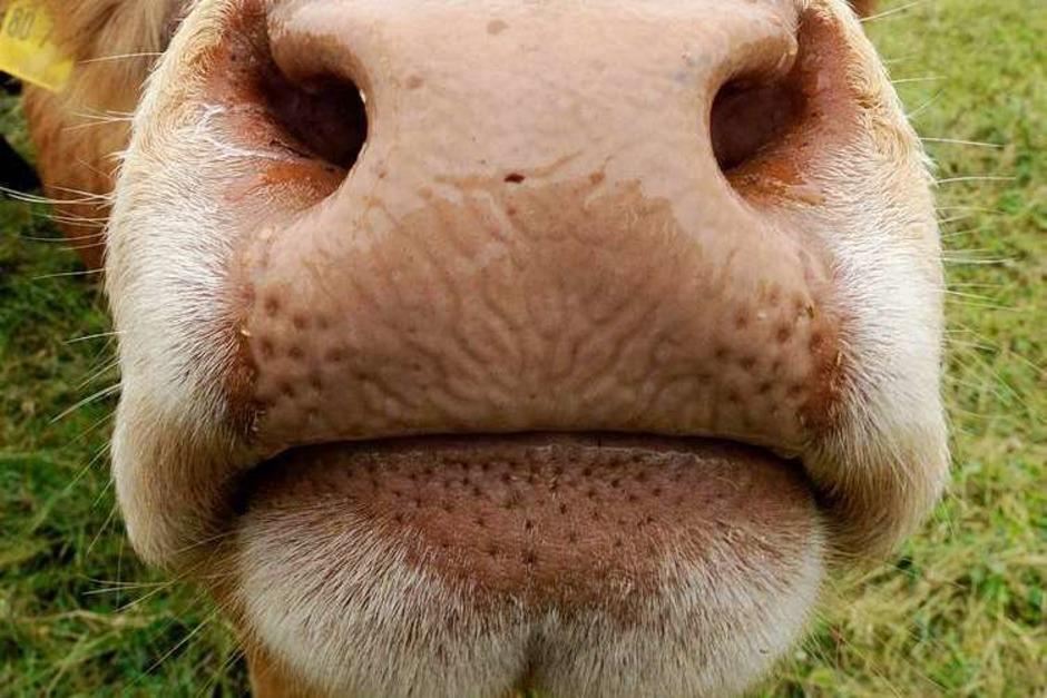 Kühe und andere Weidetiere brauchen im Sommer einen schattigen Unterstand. (Foto: dpa)