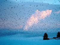Kehren die Bergfinken in den Hotzenwald zur�ck?