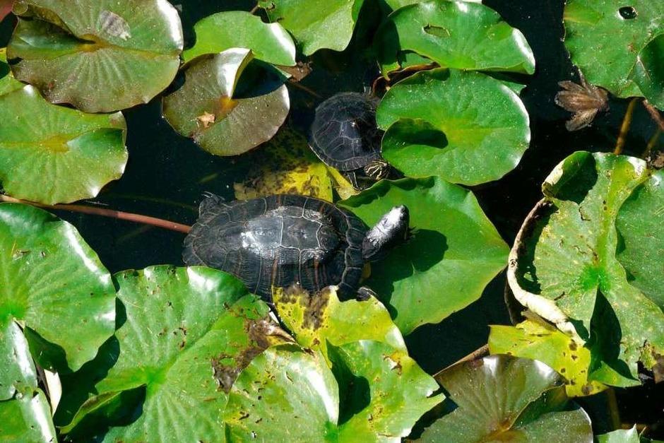 Rotwangenschmuckschildkröten am Flückigersee im Freiburger Seepark. (Foto: Oliver Huber)