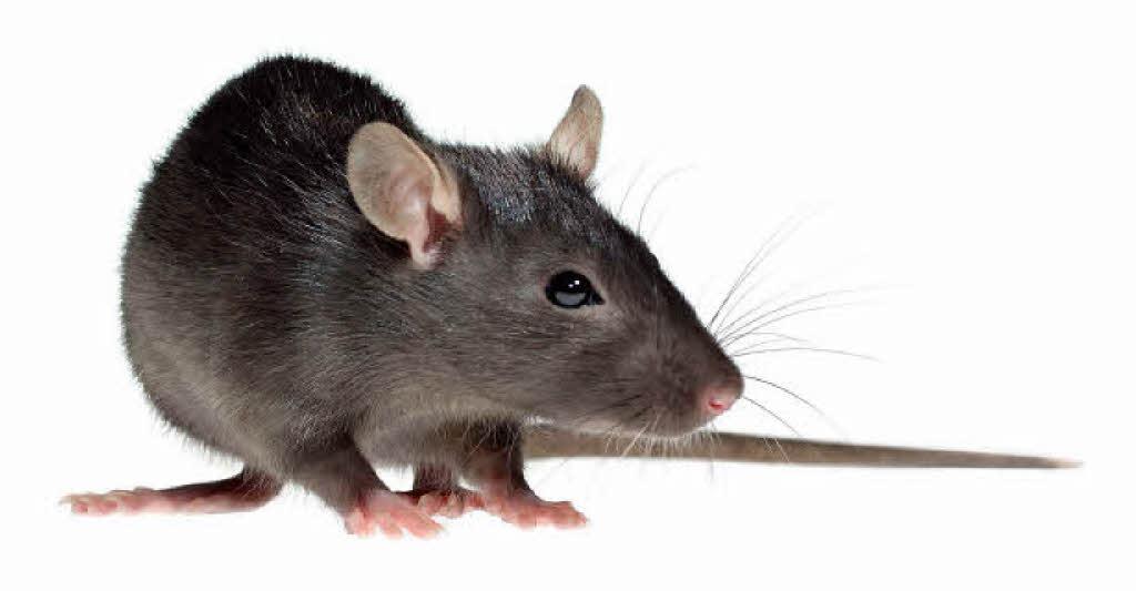 der rat gegen ratten nicht f ttern freiburg badische zeitung. Black Bedroom Furniture Sets. Home Design Ideas