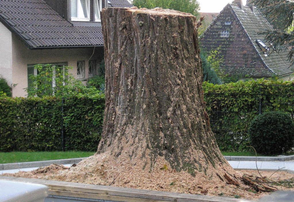 ein mammutbaum weniger badenweiler badische zeitung. Black Bedroom Furniture Sets. Home Design Ideas