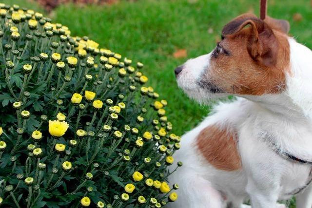 Fotos: Das zweite Wochenende der Chrysanthema