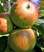 Eine Liebeserklärung an den Apfel