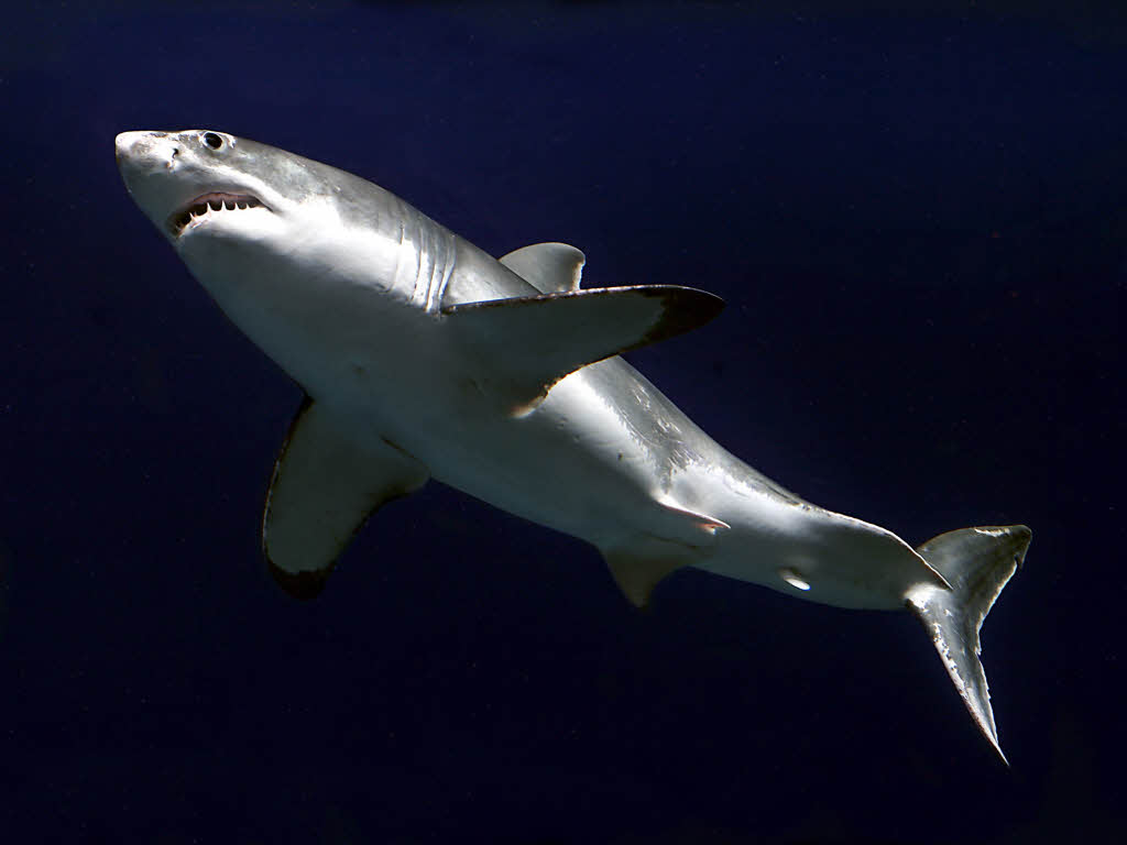 Ein weißer hai archivbild hat eine badende frau im meer vor der