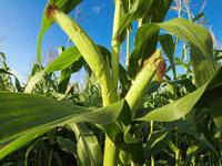 Biogas – Bund gegen weitere Mais- und Rapsfelder