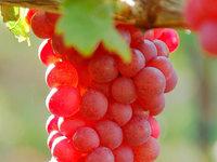 Weinbau nach den Lehren Rudolf Steiners