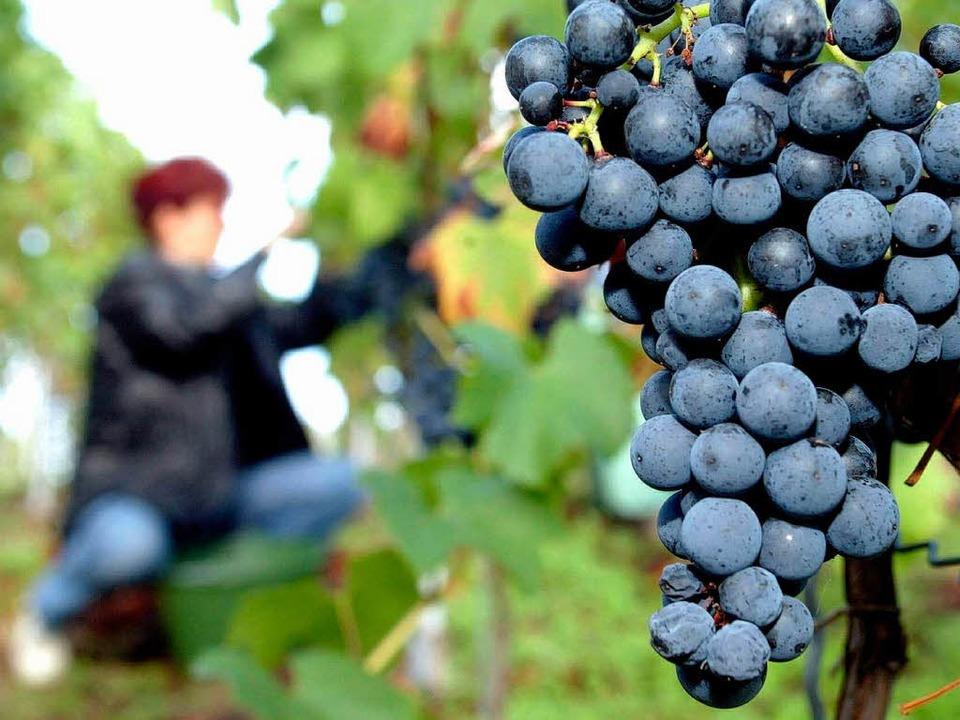 Für viele badische    Winzer lohnt sich die Arbeit im Weinberg kaum noch.  | Foto: ddp