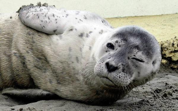 Heuler waldemar auf der seehundstation friedrichskoog foto dapd