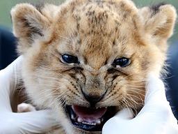Die Löwen-Drillinge aus der Heide