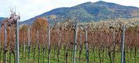 Weinerzeuger schwärmen von gesunden Beeren und gutem Wein