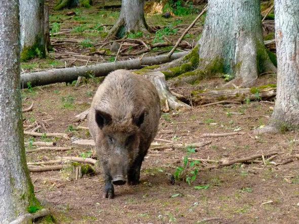 lahr j ger warnen vor wildschwein muttertieren die bisse sind sehr gef hrlich badische. Black Bedroom Furniture Sets. Home Design Ideas