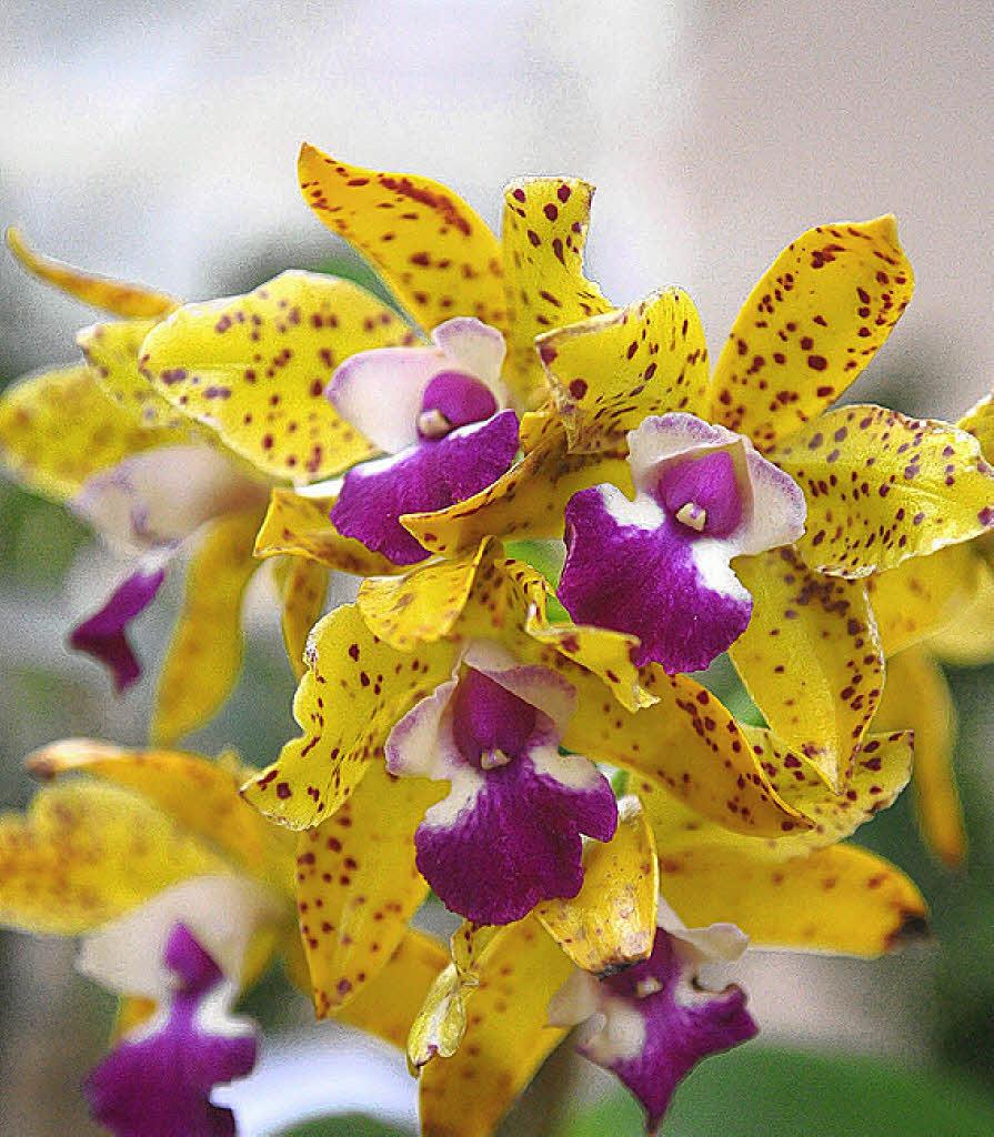 lahr orchideen eigensinnig und elegant badische. Black Bedroom Furniture Sets. Home Design Ideas