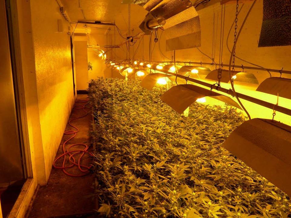 Die Marihuana-Plantage im Keller des Anwesens vor den Toren Ettenheims.    Foto: Polizei