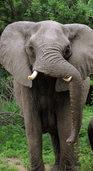 Elefantenpopulation w�chst stark: Erw�nschte Jagd