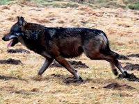 Unbekannte erschie�en Wolf vom Westerwald