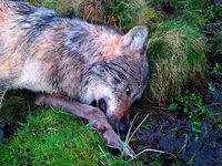 71-J�hriger gibt Sch�sse auf Wolf im Westerwald zu
