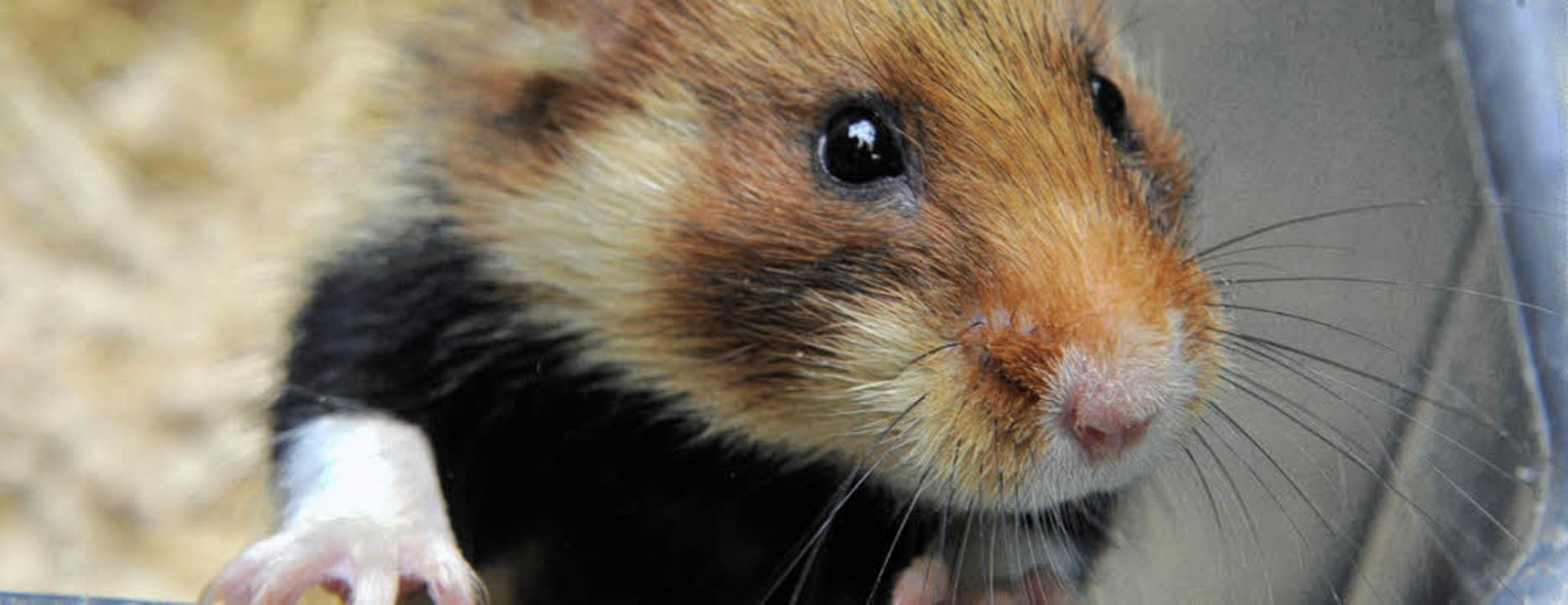Klein, kleiner, Zwerg: der winzige Zwerghamster.   | Foto: dpa