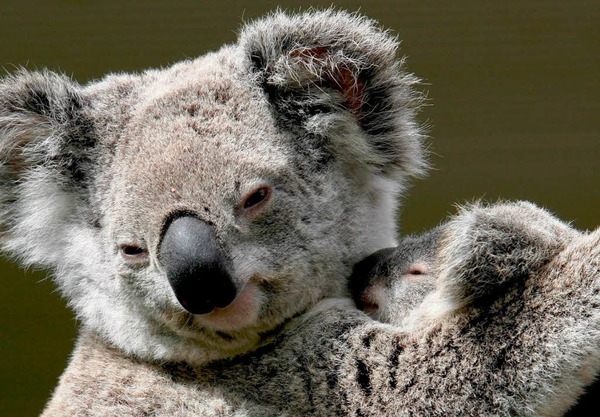 Koalas, hatten es in den letzten 100 Jahren nicht leicht.