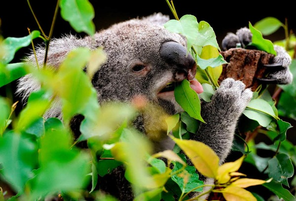 Es wurde jetzt nmlich ein Gesetz erlassen: Koalas drfen nicht mehr gejagt werden.