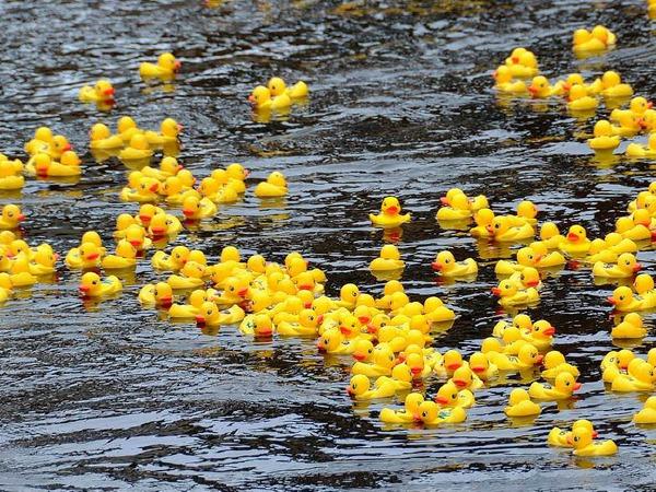 1500 Enten starten beim Entenrennen.