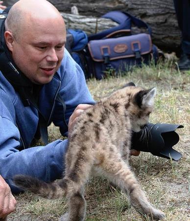 Ein Tierpfleger streichelt das Tier, sogar das ist mit einem Puma-Jungen machbar.