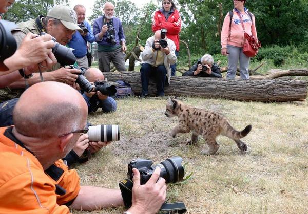 Fotografen versuchen das beste Bild von dem kleinen Puma-Jungen zu ergattern.