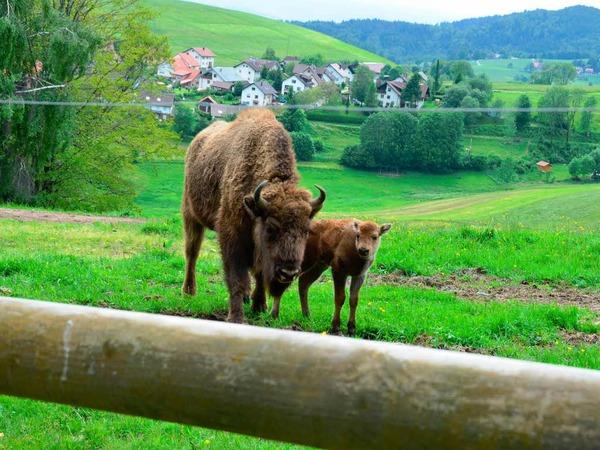Mutter und Kind sind immer dicht beisammen. Im Hintergrund ist Gersbach zu sehen.
