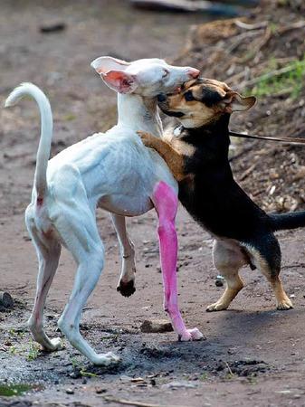 """Auf Tuchfühlung mit """"Lebender Kunst"""" in Form des spanischen Windhundes """"Human"""" mit seinem vom Künstler Pierre Huyghe pinkfarben angemalten Vorderlauf geht der ordinäre Besucherhund """"Ronja"""""""