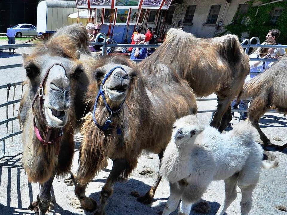 Hier sind die Kamele des Mundenhof beim Kamelfest zu sehen.      Foto: Michael Bamberger
