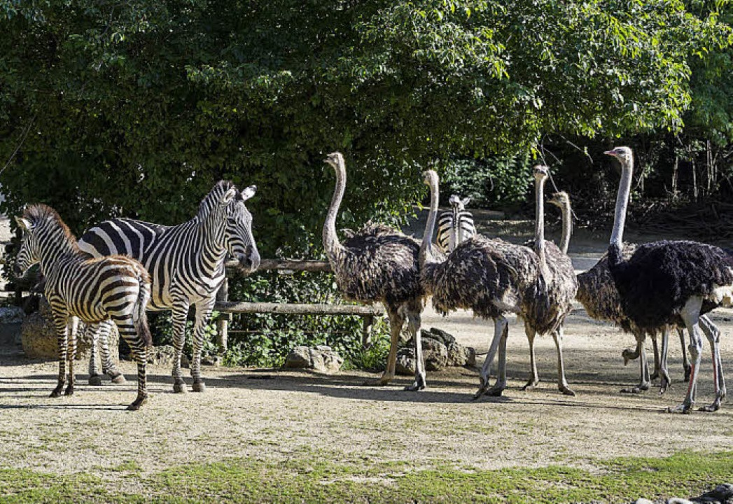 Erst wenn sie groß sind, dürfen die St...s, denn die würden sie sonst stupsen.   | Foto: Zoo Basel